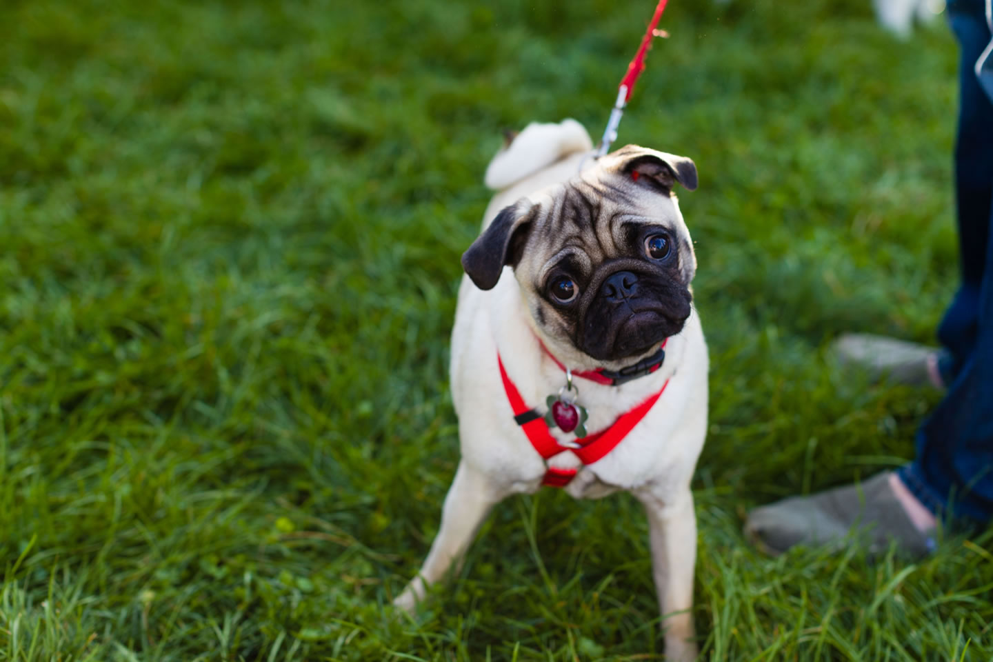A pug is ready for the walk for life