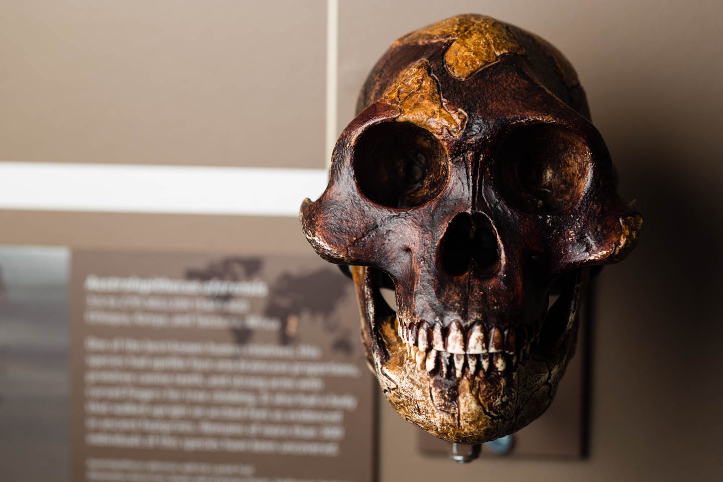 Ancient humanoid skull at the Natural History Museum