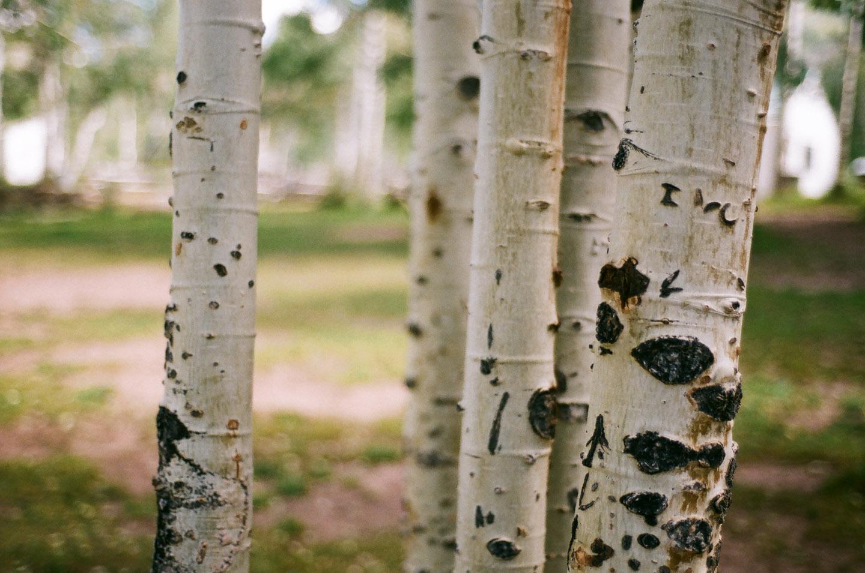 Aspen trees on 35mm Film