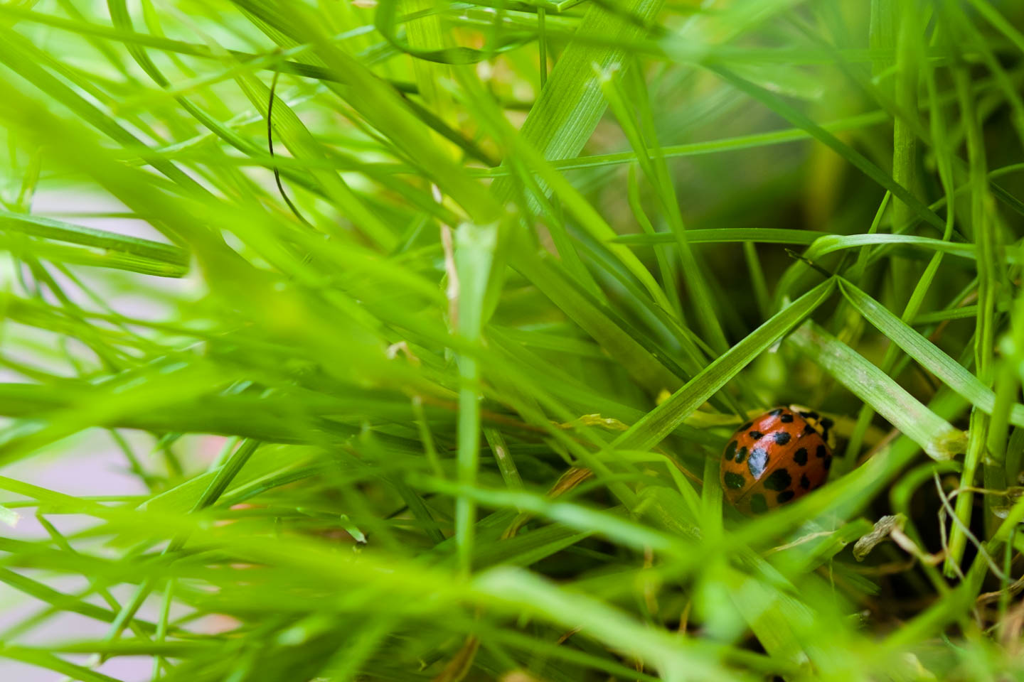 A lady bug hides in the grass