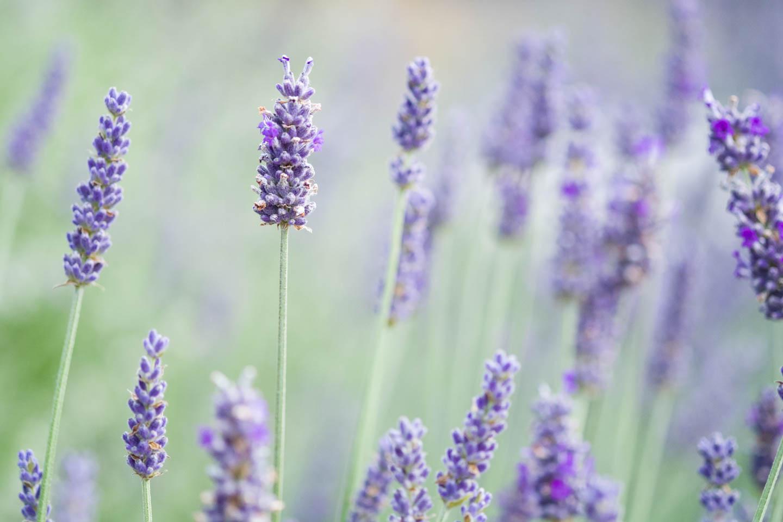 Lavender growing at Durant Vineyard's greenhouse