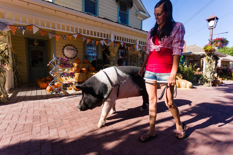 Sally the pig walks through Gardner Village