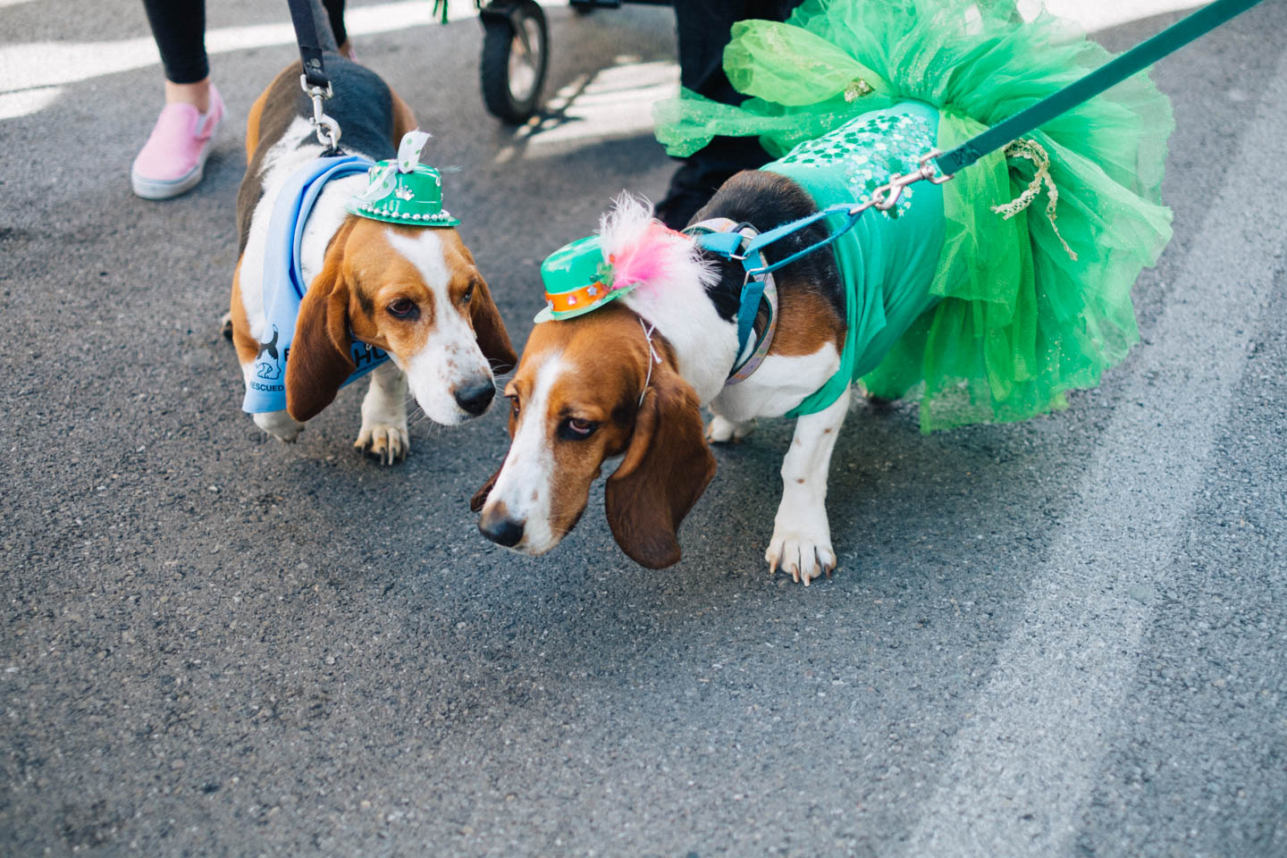Basset hounds at the St. Patrick's Day Parade